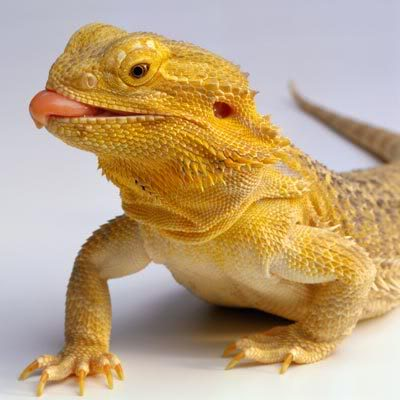 Bearded Dragon | The Life of Animals