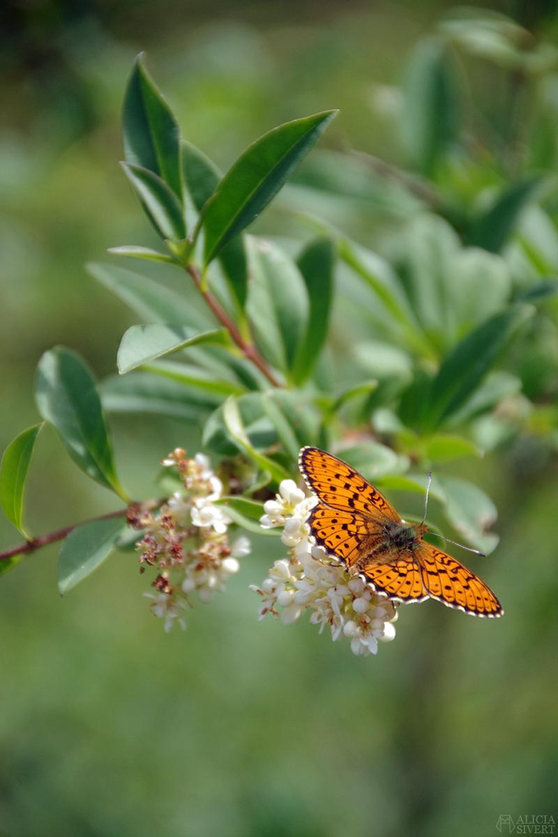 aliciasivert alicia sivertsson gotland blommor fjäril butterfly