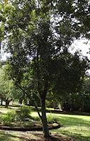 Macadamia nut tree, Foster Botanical Garden - Honolulu, HI