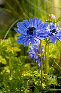 bunga anemone wikipedia