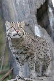 Jenis Kucing Kampung Di Indonesia Bakau