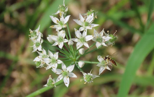 ニラの花の蜜を吸う蜂