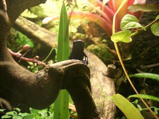 plantas dendrobates