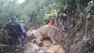Gajah yang Terluka karena Jerat Diobati BKSDA dan Vesswic
