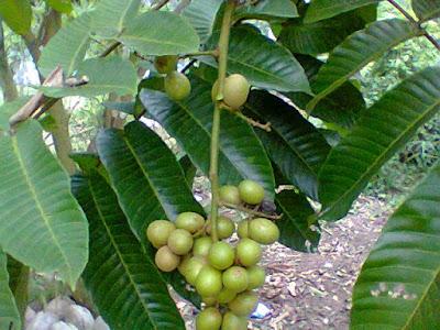 Jenis-Jenis Buah Matoa Papua