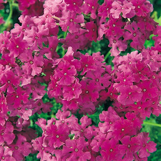 http://www.plantmenow.co.uk/verbena-aztec-dark-pink.aspx