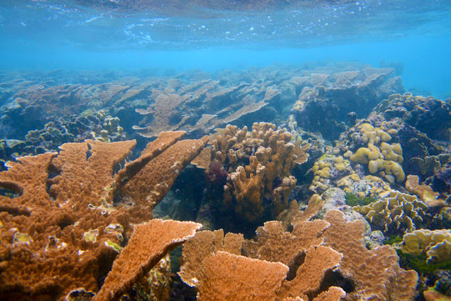 Corals much older than previously thought, study finds