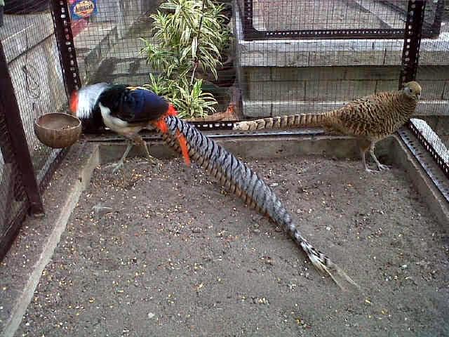 jual ayam hias lady armherst pheasant