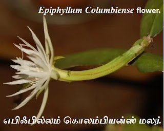 Epiphyllum Columbiense flower