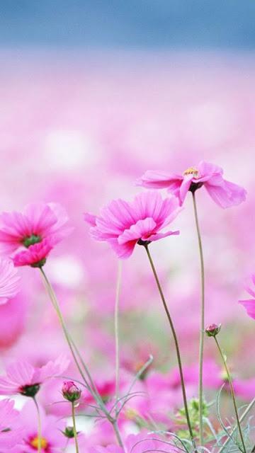 iPhone 6 Plus Purple Flower Wallpapers Free Download