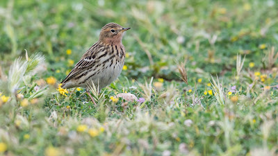 Red-throated Pipit by Ben Porter