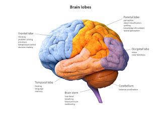 parts brain labeled