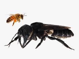 Ditemukan Lebah Terbesar di Dunia di Maluku