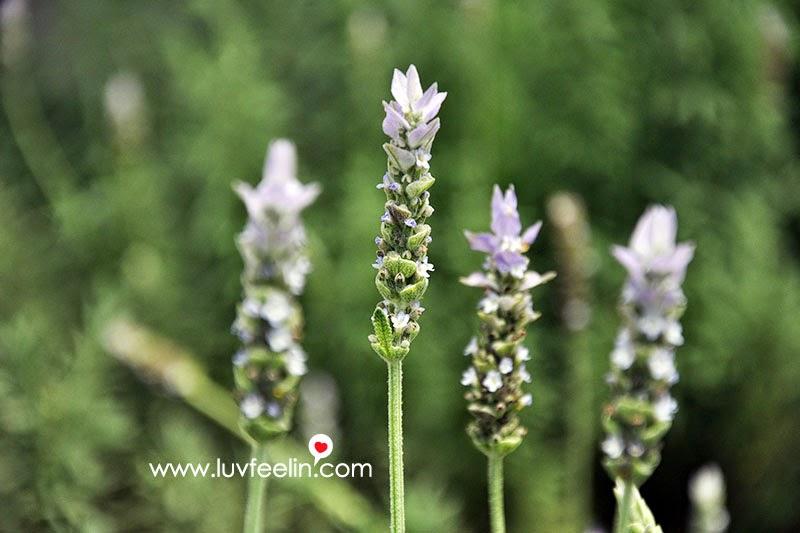 Cameron Highland Lavender
