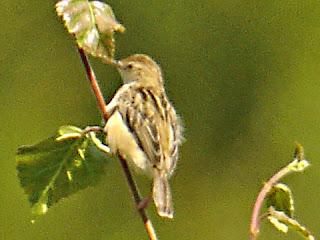 Burung Ciblek - Jenis Burung Ciblek Cisticolae Xilis - Penangkaran Burung Ciblek