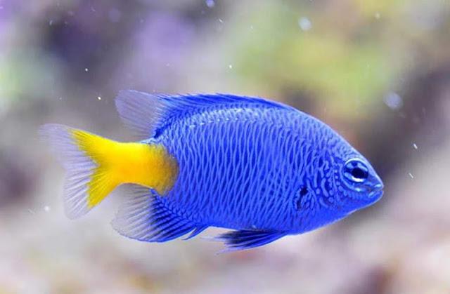 Ikan Hias Blue Devil