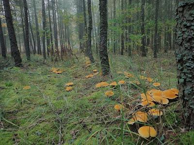 grzyby 2019, grzyby w październiku, grzyby na Ponidziu, borowiec dęty/borowiczak dęty