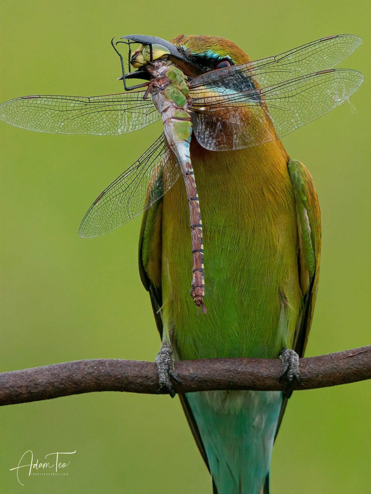 Птица поймала стрекозу