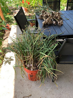 Five gallon orange bucket overflowing with picked garlic, more garlic on patio table