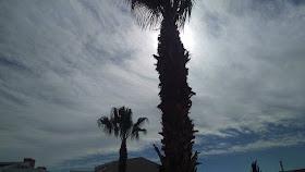 Paphos palm trees