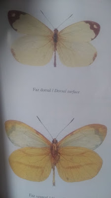 Mariposa bonita blanca (Dismorphia psamathe)
