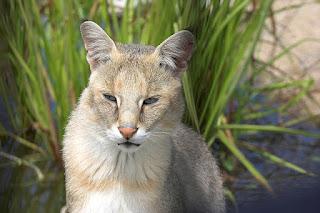 Jungle Cat Picture, Image