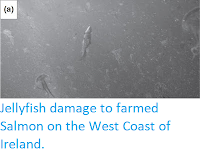 https://sciencythoughts.blogspot.com/2016/07/jellyfish-damage-to-farmed-salmon-on.html