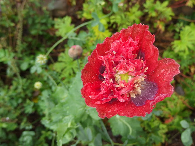 Self-sown poppy which I've nicknamed 'The Floozy'