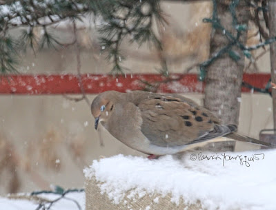 """This picture was taken on a snowy day in a  NYC rooftop garden during winter so the containers have been wrapped in burlap for protection from cold temperatures. Snow is falling and one can see it has accumulated. The focus of the image is a Mourning dove who is standing on the burlap and appears to be snoozing (as the creature's eyes are closed allowing us to se her pale blue eyelids). The garden is the setting for my three volume book series, """"Words In Our Beak.""""  Mourning doves are featured in the volume one. Info re these books is within another post within this blog @ https://www.thelastleafgardener.com/2018/10/one-sheet-book-series-info.html"""