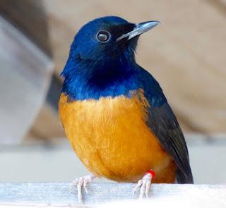 Karakteristik burung murai batu