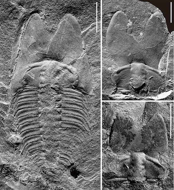 New trilobite fossil reveals cephalic specialization of trilobites in Middle Cambrian