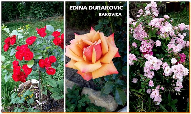 Ruže stablačice, Rakovica, Bosna i Hercegovina