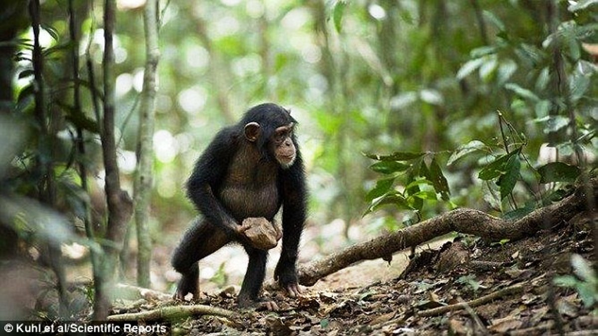 Human Genome Project, chimpanzees