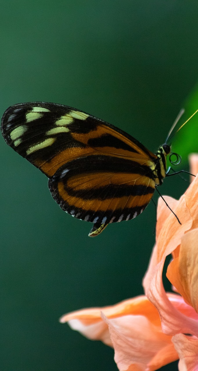 A heliconius butterfly.