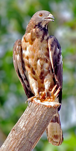 crested honey buzzard, oriental honey buzzard, bee eating raptor, alex aitkenhead, south african raptors, first recording in South Africa,