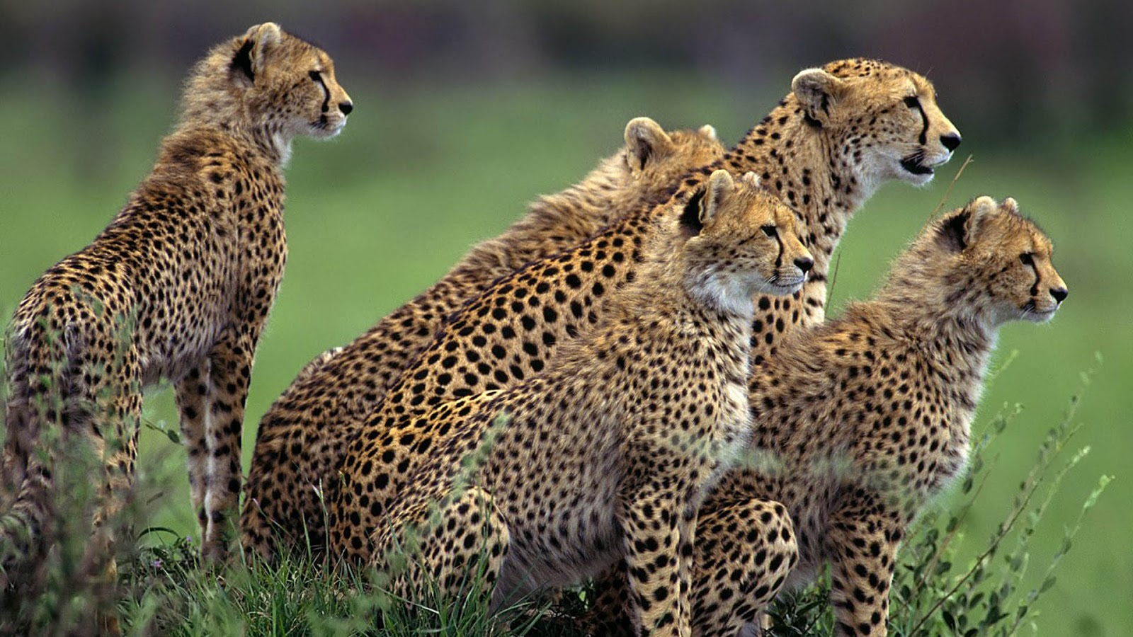 Hd Animals Wallpapers Free: Wallpapers Fair: African Animal Wallpapers Free Download