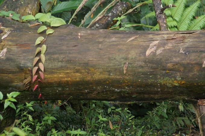 Fallen Resin Tree
