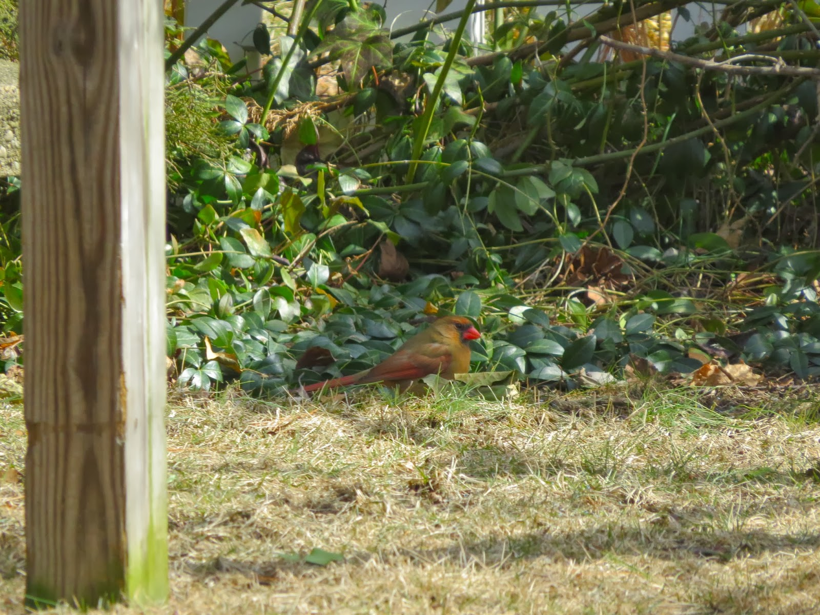 Female-Cardinal-in-Camouflage