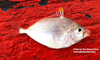 Orangefin Ponyfish