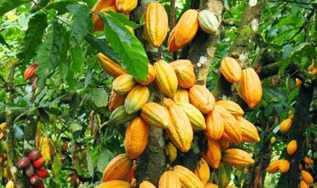 kakao Komoditas Unggulan yang Masih Diabaikan