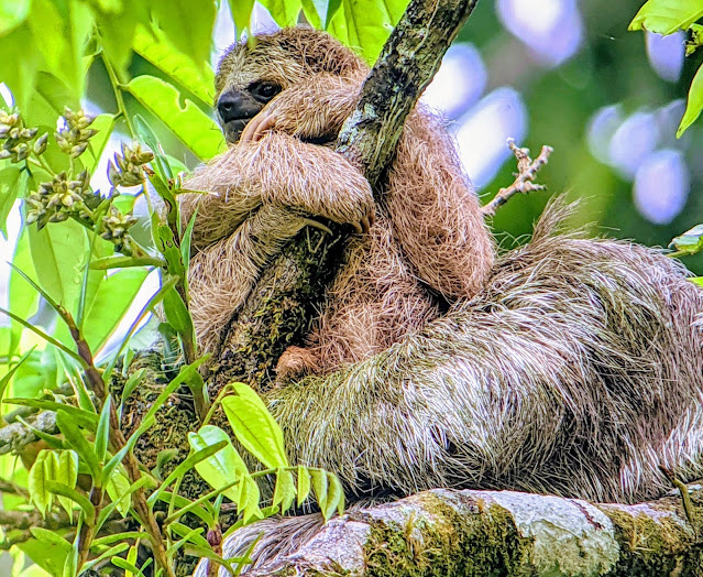 Costa Rica Itinerary: Mother sloth and baby
