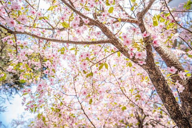 上野公園,桜,河津桜