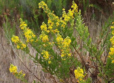 Vara de oro (Solidago virgo aurea) de flores amarillas
