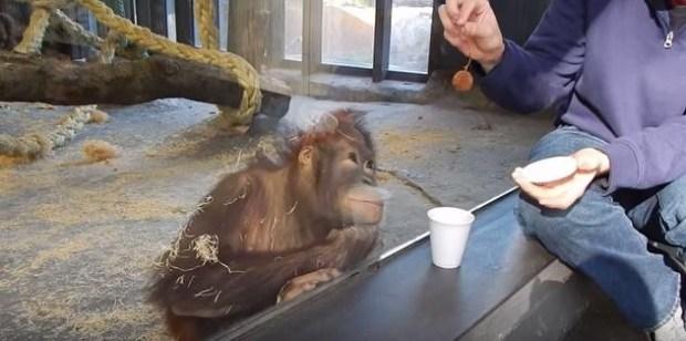 Este orangután tuvo la reacción más hermosa al ver un truco