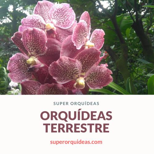 Orquídeas terrestre