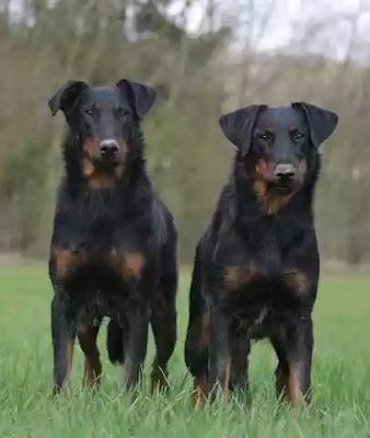 Things You Should Be Aware Of For Effective Beauceron Care