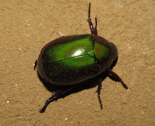 unknown scarab beetle