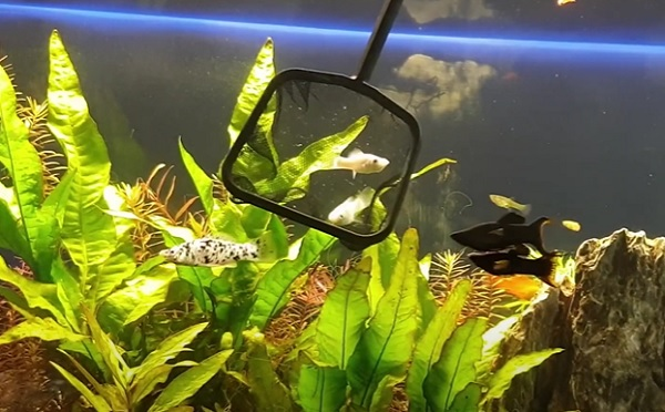 Molly and Dalmation Molly Fish