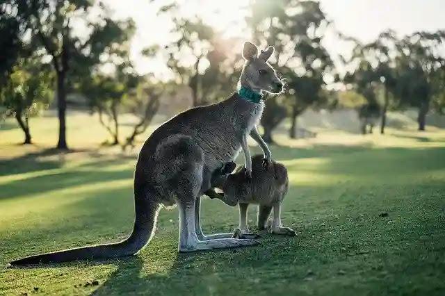 Weird Facts About Kangaroo in Hindi