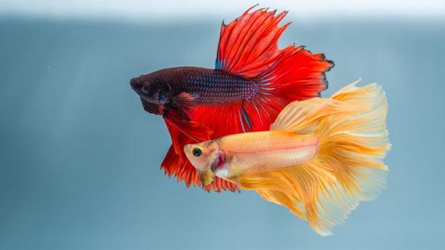 معلومات عن تزاوج ودورة حياة سمك الفايتر أجمل أنواع أسماك الزينة